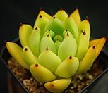 원종마리아(묵은중품)특가 H16-6|Echeveria agavoides Maria