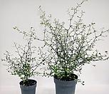 그린 마오리코로키아(신상품) -중대품 잎의 앞면은 그린,뒷면은 실버~ 특이해요~|