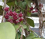 꽃피는호야|Hoya carnosa