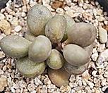 리틀스페로이드 특가 6663|Echeveria minima hyb Roid