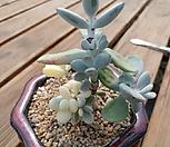 방울복랑금 뿌리튼실 8.18|Cotyledon orbiculata cv variegated
