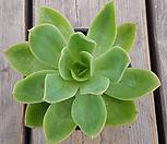 골든글로우528|Echeveria cv. Golden Glow