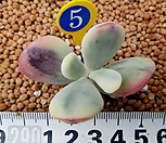 방울복랑금(수박금)-5 뿌리있어요|Cotyledon orbiculata cv variegated