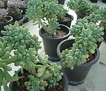 을려심철화 sedum pachyphyllum