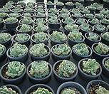 멕시코미니마 자연군생 Echeveria Minima