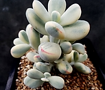 방울복랑금 9두군생(수박금 최상급)|Cotyledon orbiculata cv variegated