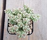 희성금570|Crassula Rupestris variegata