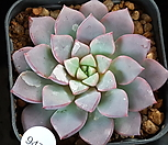 퍼플섭코림보사 7108-9472|Echeveria subcorymbosa (lau 026)