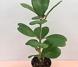 [진아플라워] 하트호야  꽃  인테리어  하트|Hoya carnosa