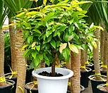 신종 월계수나무  월계수  비파나무|