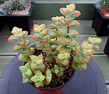 원종애성 8-371|Crassula rupestris