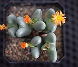축전군생.18 conophytum bilobum