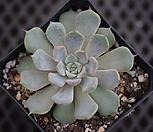 핑크자라고사.21 Echeveria mexensis Zaragosa