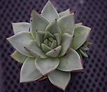 멕시코야생마리아 중품.21 Echeveria agavoides Maria