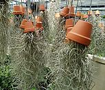 수염틸란드시아(공중식물)|