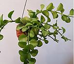 그린디시디아(공중식물)토분|