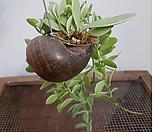 디시디아(공중식물) 소라|