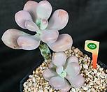 아메치스 62 자연군생한몸|Graptopetalum amethystinum