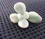 방울복랑금-컷팅|Cotyledon orbiculata cv variegated