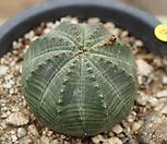 오베사69|Baseball Plant (Euphorbia obesa)