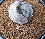 부르게리109|Conophytum burgeri