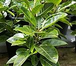 벵갈고무나무(중)0828|Ficus elastica