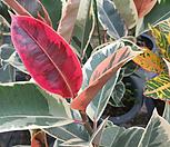 수채화고무나무이쁜외목|Ficus elastica