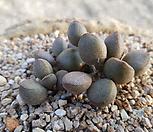 리틀스페로이드 군생|Echeveria minima hyb Roid