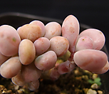 아메치스 Graptopetalum amethystinum