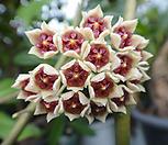 하트호야모주 초코렛향기|Hoya carnosa