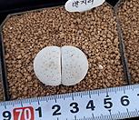 반질리132|Conophytum vanzylii