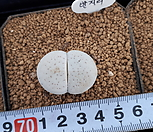 반질리134|Conophytum vanzylii