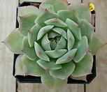핑크팁스269|Echeveria Pink Tips