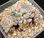 로이드 4-182|Echeveria minima hyb Roid