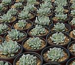 흑자라고사[랜덤]m|Echeveria mexensis Zaragosa