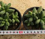 천대전송[랜덤]m|Pachyphytum compactum