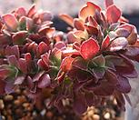 에오니움철화 Aeonium canariense