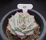 핑크팁스묵은둥이22|Echeveria Pink Tips