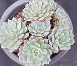 로이드1168|Echeveria minima hyb Roid