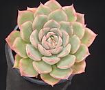 핑크팁스(중) 5-225|Echeveria Pink Tips