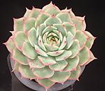 핑크팁스(대) 5-327|Echeveria Pink Tips