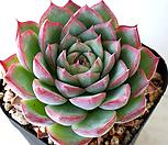 핑크크리스탈 Echeveria 'Pink Crystal' 803|Echeveria elegans potosina Crystal