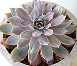 핑키금 812|Echeveria cv Pinky
