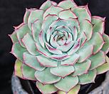 핑크팁스 71 (묵은아이)|Echeveria Pink Tips