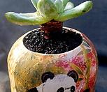 파키피덤(멕시코야생) 목대-70|Dudleya pachyphytum