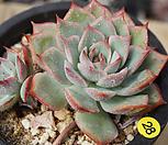 묵은핑크팁스28|Echeveria Pink Tips