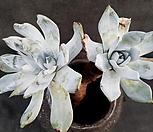 환엽블러쳐스 3두군생-69|Dudleya farinosa Bluff Lettuce