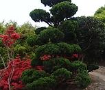 가이즈까 향나무,향나무 H1.0, H1.2, H1.5|