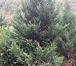 편백나무,편백 H2.5 ~ 3.0|