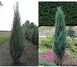 스카이로켓향나무,향나무 H1.0, H1.5|